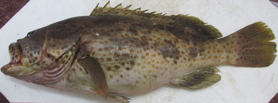 ICAR-CMFRI develops seed production technology of two more high value marine fishes