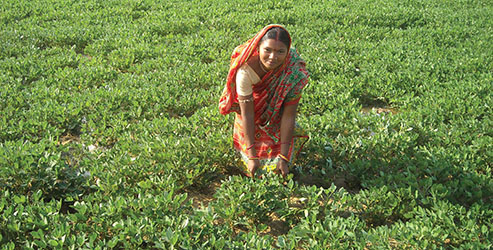 Groundnut increases cropping intensity in